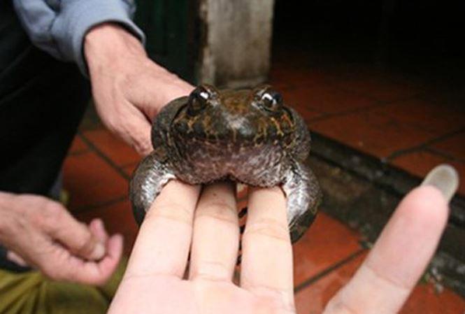 Cơn sốt thần dược ếch đại gia, đặc sản tiến Vua xưa ở Việt Nam-4