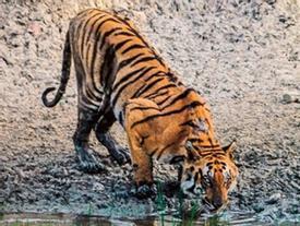 Nga: Hổ bị lên cơn động kinh, 'đóng băng' ngay khi diễn