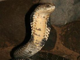 Dựng tóc gáy vây bắt rắn hổ mang dài 2 mét ở Lạng Sơn