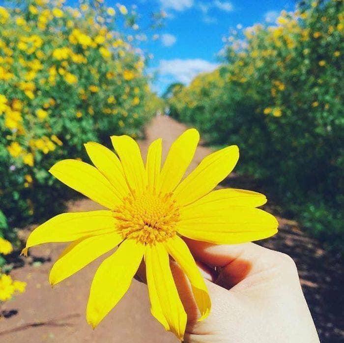 Tháng 10 rồi rủ bạn thân đến Ba Vì để ngắm hoa dã quỳ thôi-1