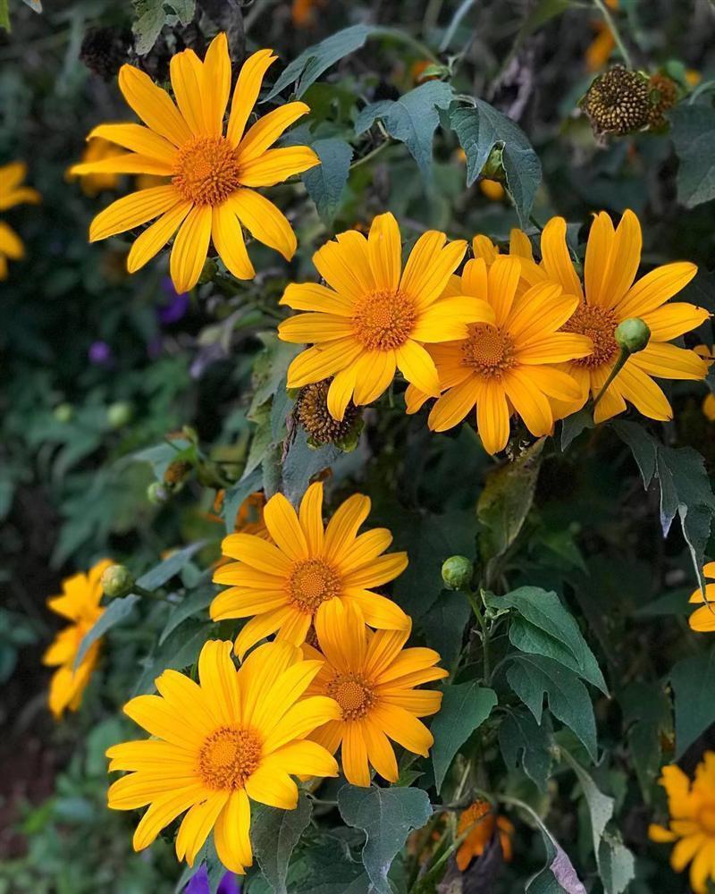Tháng 10 rồi rủ bạn thân đến Ba Vì để ngắm hoa dã quỳ thôi-2