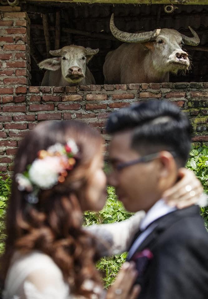 Bức ảnh hot nhất mạng xã hội hôm qua: Cô dâu, chú rể là kép phụ làm nền cho hai chú trâu phía sau-1