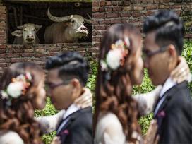 Bức ảnh hot nhất mạng xã hội hôm qua: Cô dâu, chú rể là 'kép phụ' làm nền cho hai chú trâu phía sau