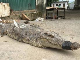 Ớn lạnh cảnh chích điện giết cá sấu ở 'thủ phủ đá đỏ'