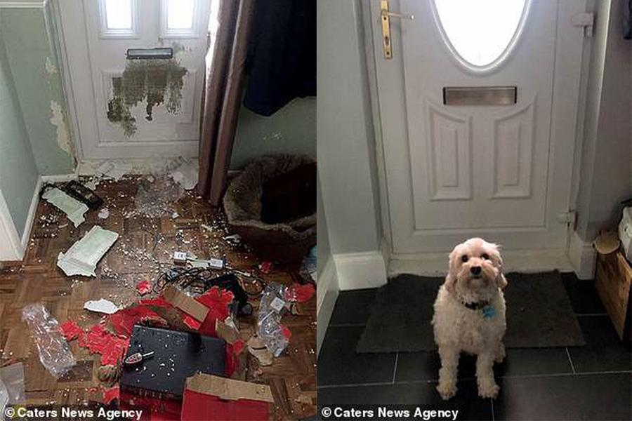 Chú chó phá nát căn nhà, chủ nhân chi 46 triệu đồng sửa chữa vẫn không trách nửa lời-1