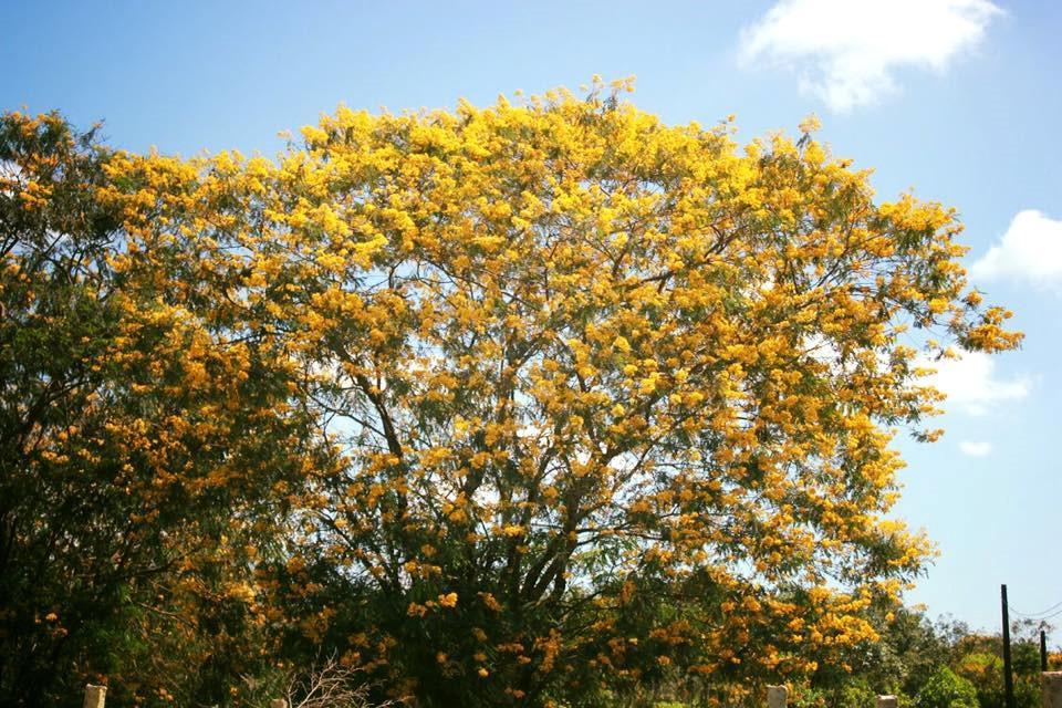 Đến Gia Lai ngất ngây trước rừng hoa muồng vàng rực-4