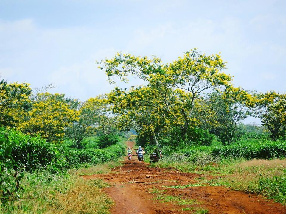 Đến Gia Lai ngất ngây trước rừng hoa muồng vàng rực-7