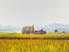 Ảnh: Khung cảnh ngày mùa vàng rực ở xứ Nghệ