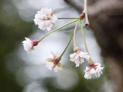 Hoa anh đào Nhật Bản bất ngờ nở giữa mùa thu