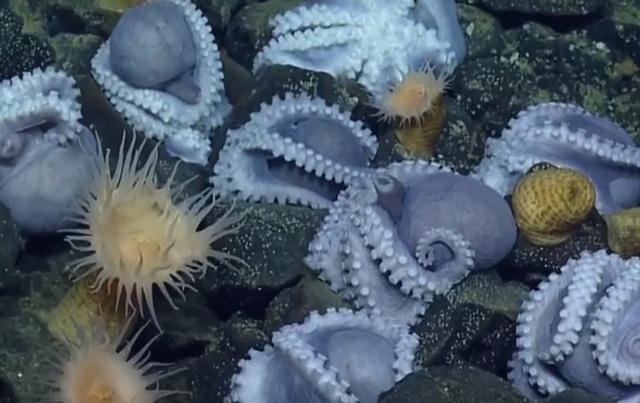 Phát hiện bệnh viện phụ sản cực hiếm dưới biển sâu của hàng nghìn con bạch tuộc-1