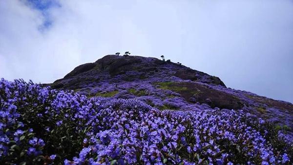 Thung lũng ngập màu tím biếc của sắc hoa 12 năm nở một lần-2