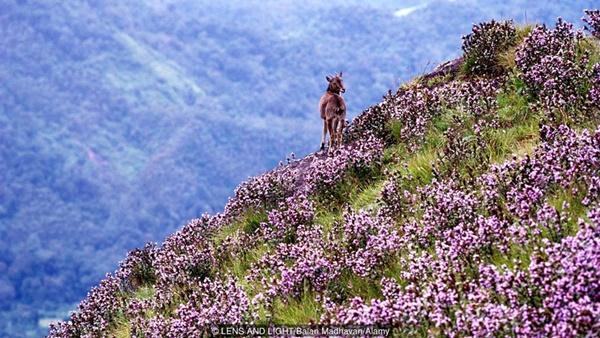 Thung lũng ngập màu tím biếc của sắc hoa 12 năm nở một lần-3