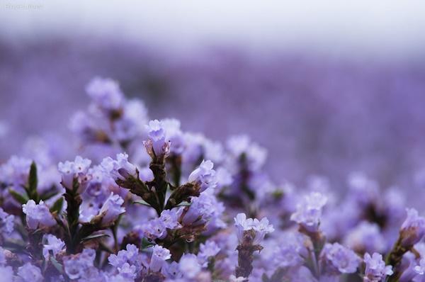 Thung lũng ngập màu tím biếc của sắc hoa 12 năm nở một lần-5