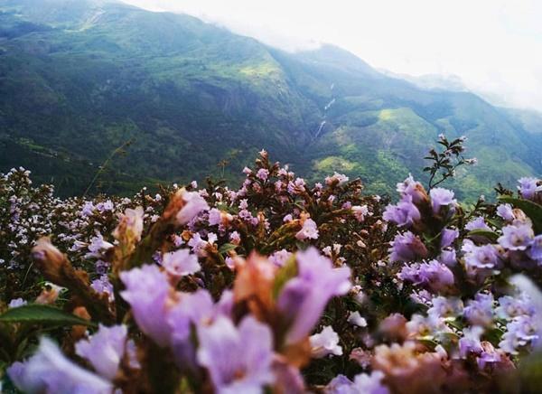 Thung lũng ngập màu tím biếc của sắc hoa 12 năm nở một lần-6