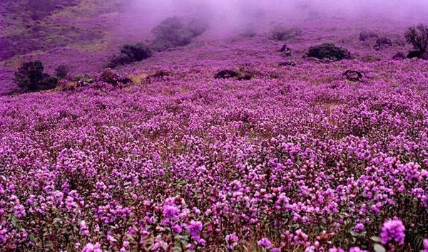 Thung lũng ngập màu tím biếc của sắc hoa 12 năm nở một lần-7