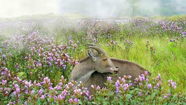 Thung lũng ngập màu tím biếc của sắc hoa 12 năm nở một lần-8