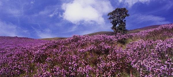 Thung lũng ngập màu tím biếc của sắc hoa 12 năm nở một lần-9