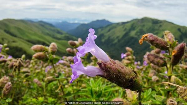 Thung lũng ngập màu tím biếc của sắc hoa 12 năm nở một lần-11