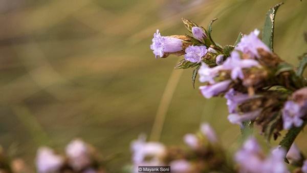 Thung lũng ngập màu tím biếc của sắc hoa 12 năm nở một lần-14