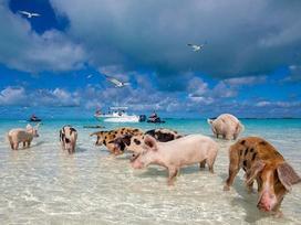 Bơi cùng lợn ở bãi biển sang chảnh bậc nhất thế giới