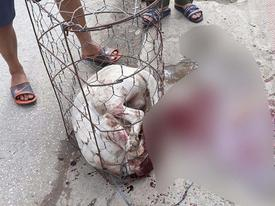 Chó Pit bull hóa 'sát thủ máu lạnh' cắn chủ và hàng xóm nhập viện
