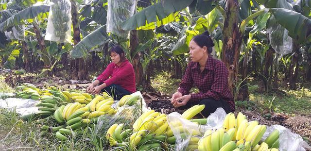 Hà Nội: Hàng nghìn buồng chuối nghi bị phun thuốc ép chín-6