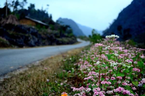 Mê mẩn ngắm đồi hoa tam giác mạch trên cao nguyên Mộc Châu lộng gió-1