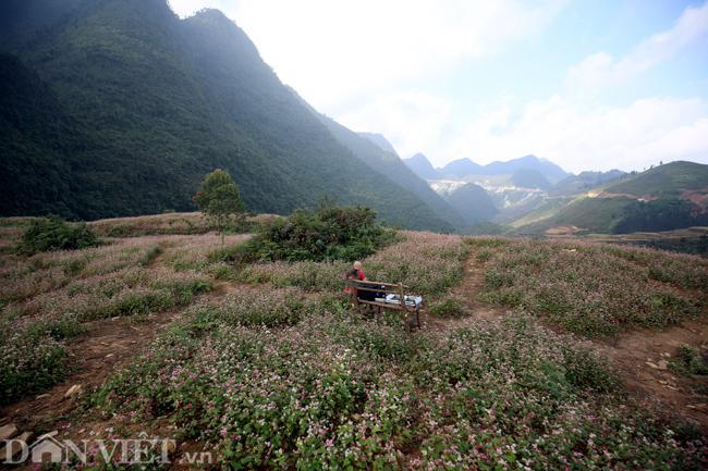 Ảnh: Mê mẩn những đồi hoa tam giác mạch ở Hà Giang-1