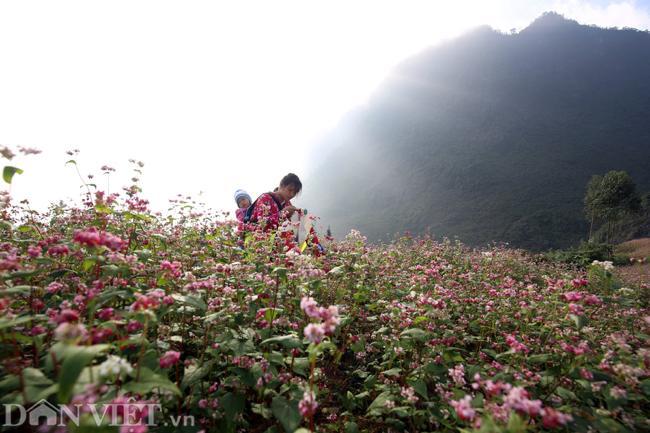 Ảnh: Mê mẩn những đồi hoa tam giác mạch ở Hà Giang-2