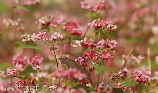 Ảnh: Mê mẩn những đồi hoa tam giác mạch ở Hà Giang-4