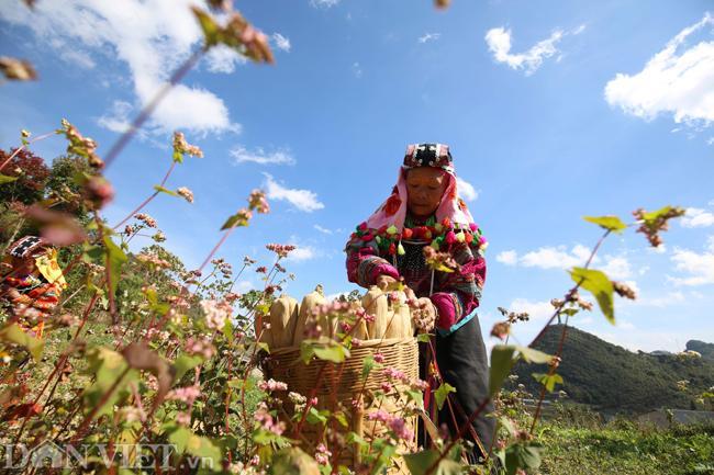 Ảnh: Mê mẩn những đồi hoa tam giác mạch ở Hà Giang-10