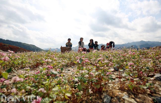 Ảnh: Mê mẩn những đồi hoa tam giác mạch ở Hà Giang-11