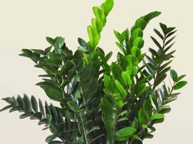 Chớ dại mà để cây này trong nhà kẻo rước bệnh cho cả gia đình, chết lúc nào chẳng hay