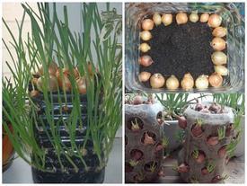 Clip: Cách trồng hành lá bằng chai nhựa ăn quanh năm không hết