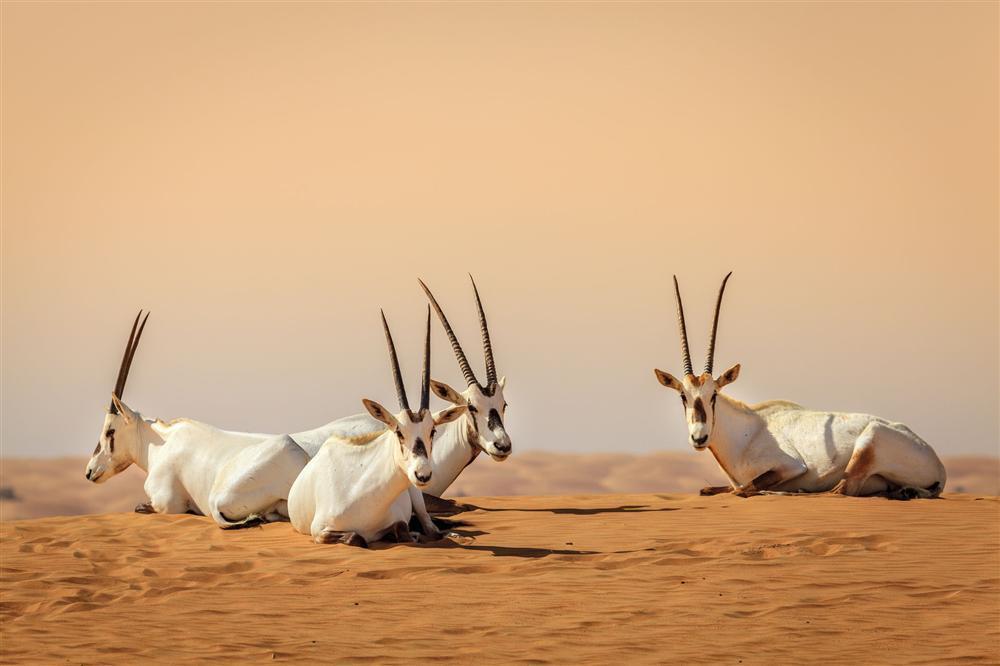 Cưỡi lạc đà băng qua sa mạc mừng năm mới-2
