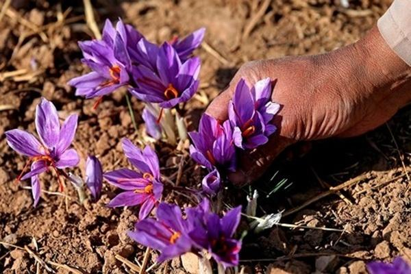 Nhụy hoa nghệ tây - Thần dược làm đẹp đang được các tín đồ khắp nơi ca tụng-2
