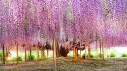Ngắm hoa tử đằng và những thú vị chỉ có khi du lịch Nhật Bản