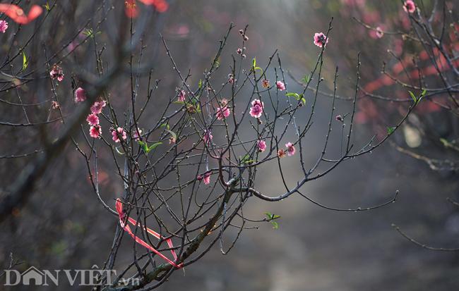 ẢNH: Đào nở sớm những ngày đầu năm mới ở làng hoa Nhật Tân-1