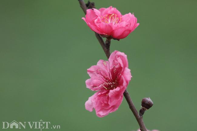 ẢNH: Đào nở sớm những ngày đầu năm mới ở làng hoa Nhật Tân-3