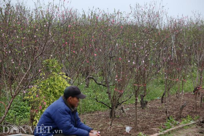 ẢNH: Đào nở sớm những ngày đầu năm mới ở làng hoa Nhật Tân-5