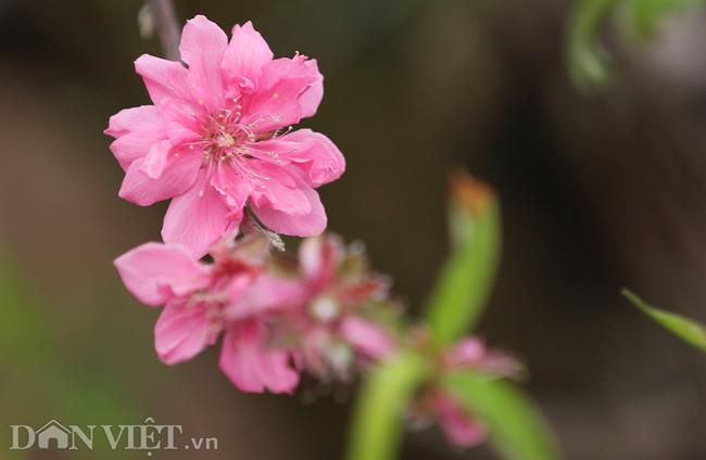 ẢNH: Đào nở sớm những ngày đầu năm mới ở làng hoa Nhật Tân-6