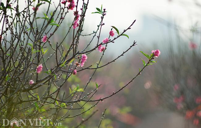 ẢNH: Đào nở sớm những ngày đầu năm mới ở làng hoa Nhật Tân-7
