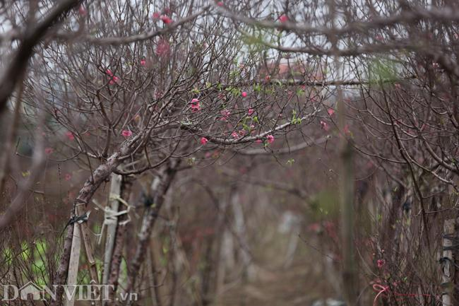 ẢNH: Đào nở sớm những ngày đầu năm mới ở làng hoa Nhật Tân-9