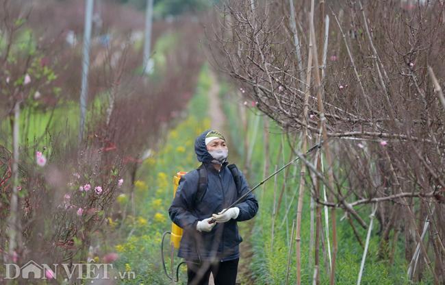 ẢNH: Đào nở sớm những ngày đầu năm mới ở làng hoa Nhật Tân-10