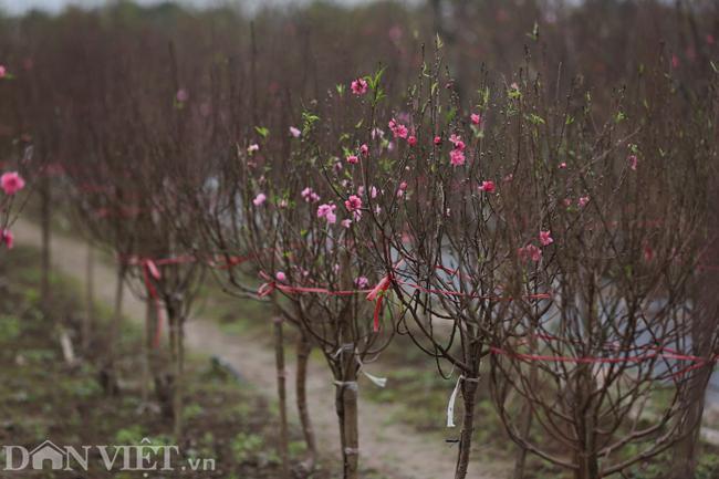 ẢNH: Đào nở sớm những ngày đầu năm mới ở làng hoa Nhật Tân-12