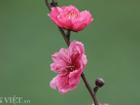 ẢNH: Đào nở sớm những ngày đầu năm mới ở làng hoa Nhật Tân
