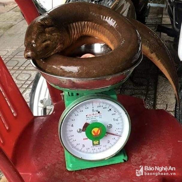 Nghệ An: Con lươn khổng lồ nặng 1,6kg nhìn thật kinh sợ-1