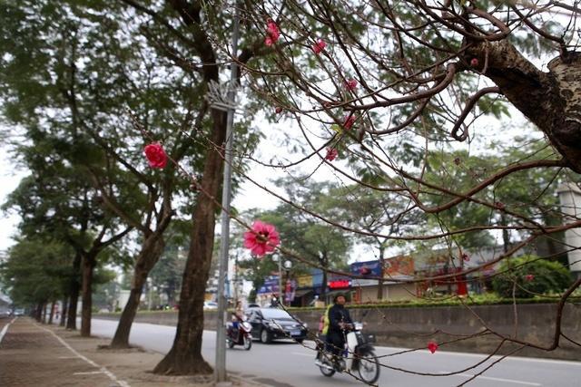Cảm nhận không khí xuân về sớm trên con đường hoa đào dài 4km bung nở ở Hà Nội-5