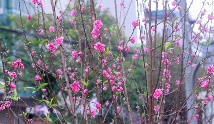 Cảm nhận không khí xuân về sớm trên con đường hoa đào dài 4km bung nở ở Hà Nội-6