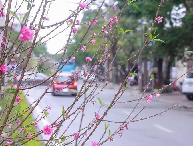 Cảm nhận không khí xuân về sớm trên con đường hoa đào dài 4km bung nở ở Hà Nội-7